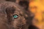 Wolf Eye 150x100